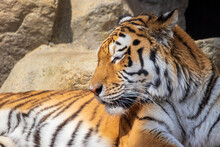 気持ちよさそうに太陽の光を浴びるトラ