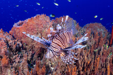 An Invasive Red Lionfish Hanging Out On The Reef Next To A Barrel Sponge. This Species Damages The Environment In The Caribbean