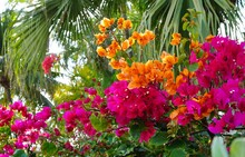 Orange Pink Flowers Of A Tropical Bougainvillea Vine
