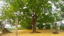 Kohomba Tree In The Temple