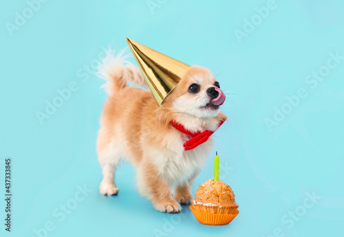 Foto Cute chihuahua dog with birthday cake on color background