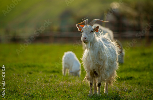 a herd of white goats grazing in the mountain meadow #437334280