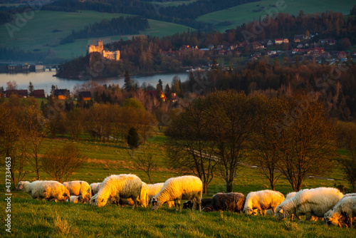 A flock of sheep grazing on a mountain meadow against the backdrop of peaks at sunset Pieniny, Poland #437334653