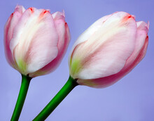 Pink  Tulips Flowers  On Purple Isolated Background With Clipping Path. Closeup. For Design. Nature.