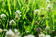 White Clover Florets In Summer Garden, Close-up, Selective Focus. Flowering Period Concept.