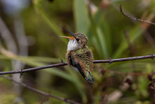 Closeup Of Young Anna's Hummingbird (Calypte Anna) Perched On Branch In Laguna Beach, California. Flowers And Green Shrubs In Background.