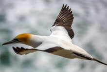 Gannet Birds
