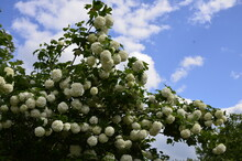 Viburnum Opulus Roseum Or Snowball Tree White Flowers With Green Foliage