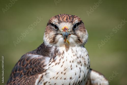 Vászonkép Close up portrait of a saker falcon, Falco cherrug, as it stares forward at the camera