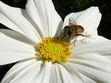 Close-up Of Bee Pollinating White Flower With Yellow Stamens