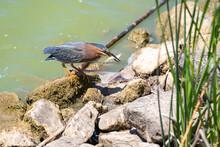 Green Heron Caught A Small Fish.