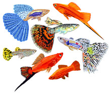 Vector Collection Of Colorful Aquarium Fishes, Guppies And Swordtail Fishes. Isolated.