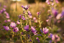 Summer Wildflowers Background. Wild Pink Hollyhocks In The Golden Rays Of The Sun. Beautiful Atmospheric Landscape With Wild Medicinal Flowers. The Concept Of Summer, Warmth, Sunset. Bright Light