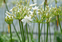 African Lily Amourette White
