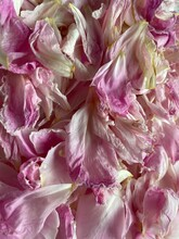Pivoines En Pétales Roses