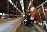 Fototapeta Zwierzęta - Krowa mleczna na fermie
