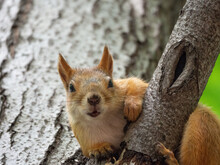 A Curious Squirrel Sits On A Tree Branch In A Park And Looks Into The Lens Close-up