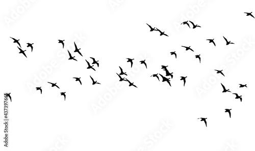 Fotografiet Flying birds. Vector images. White backgorund.