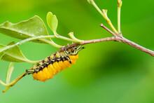 Yellow Caterpillar Perching On A Perch