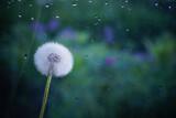 Fototapeta Dmuchawce - white dandelion on a dark green background glass in water drops rain on a blurry background