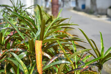 Blurry Image Of Puring Plant, A Type Of Ornamental Plant That Is Often Found In Graves (tanaman Puring)