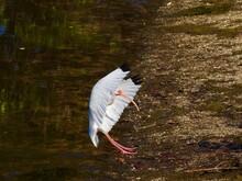 Ibis In Florida