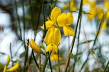Yellow Broom Flowers, Selective Focus Close Up On Blurred Background