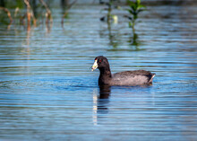 American Coot Floating In A Lake With Something To Eat!