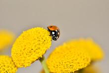 Detail Of A Red Ladybug On Yellow Flowers Of Santolina (Santolina Rosmarinifolia)