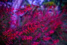 Flower Red Fire Spike (Odontonema Strictum) On Dreamlike Soft Blurred Background.