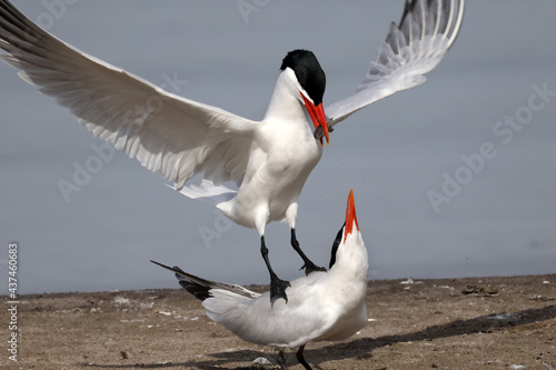Obraz na płótnie CAspian tern offering fish to mate, also gulls chasing them to take food off them before they land
