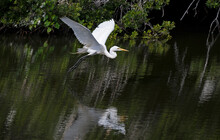 A Great Egret Flying Low Over A Wetland Lake Is Reflected In The Water.