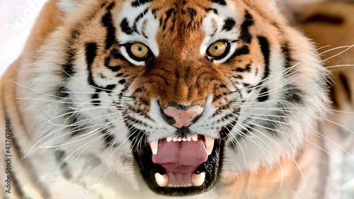 Foto tiger in zoo