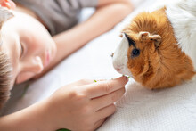 Boy Feeds Guinea Pig Out Of Hands. Manual Animal Eats From Human Hands. Child Takes Care And Plays With Pet.