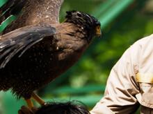 Picture Of A Javanese Eagle / Elang Jawa (Nisaetus Bartelsi) On A Zoo