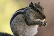 Closeup Shot Of An Adorable Gray Chipmunk Eating While Standing On Hind Legs