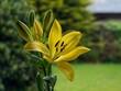 Leinwandbild Motiv Yellow lily