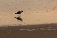 Seagull And Mussel