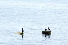 Three Silhouettes Of Cormorant In Sea