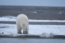 Alaska White Polar Bear From Arctic