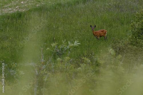 Fotografie, Obraz Lonely roe deer resting in the grassy terrain