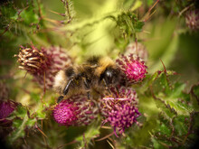 Bumblebee Sitting Amongst Purple, Thistle Flowers, Beautiful Colours And Bokeh.