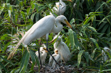 Mother Great White Egret And Her Chicks In Nest At Birds Colony At Natural Lakeside Forest In Sreerampur, Sylhet Bangladesh.