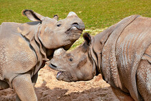 Head Of Indian Rhinoceros (Rhinoceros Unicornis) The Open Mouth And Who Plays With Another Fellow