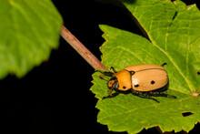 Adult Grapevine Beetle (Pelidnota Punctata)