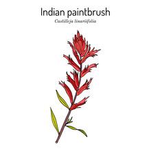 Indian Paintbrush Castilleja Linariaefolia , Official State Flower Of Wyoming