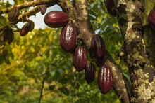 Chocolate Tree ( Theobroma Cacao ) With Fruits. Red Ready To Harvest Cacao Pod, Close Up. Fruit Plantation In The Philippines.
