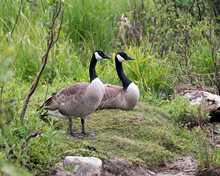 Canada Geese Photo.Canadian Geese Couple Close-up Profile View With A Foliage Background And Foreground In Their Habitat And Environment, Looking To The Right Side. Picture. Portrait. Image.