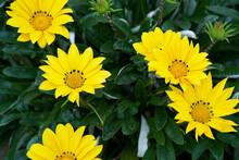 Beautifully Blooming Gazania Close-up