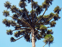 Araucaria Is A Species Of Tree Native To South Of The Brazil Threatened With Extinction - Araucária Angustifolia